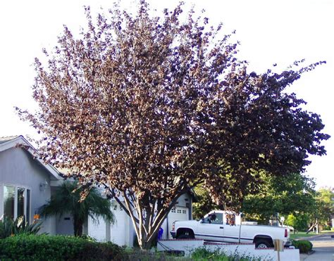 purple leaf plum tree dark brown hairs