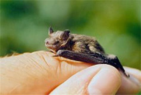bat kitti the world s smallest bat species picture of