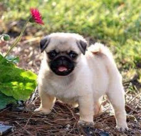 why do like pugs why do like pugs i they re so compared to dogs like huskies or