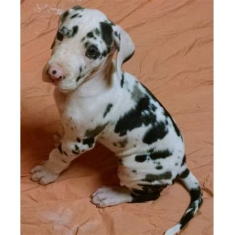 great dane puppies for adoption great dane puppies and dogs for sale and adoption page 1 freedoglistings