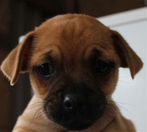 terrier x pug pug x terrier liverpool merseyside pets4homes