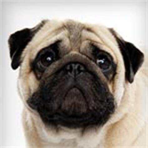 pug planet rescue shih tzu breed selector animal planet