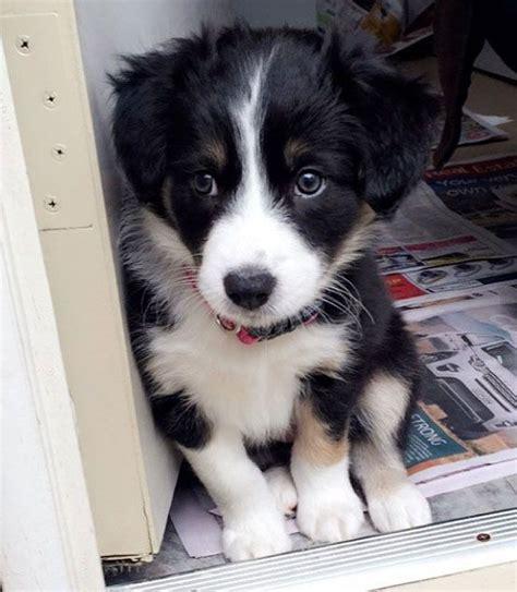 real puppies best 25 miniature australian shepherds ideas on miniature australian