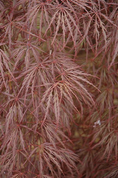 purple leaf threadleaf japanese maple acer palmatum dissectum atropurpureum in ottawa nepean