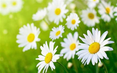 daisies flower daisy flower wallpaper beautiful desktop wallpapers 2014
