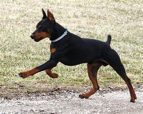 german for german pinscher breed guide learn about the german pinscher