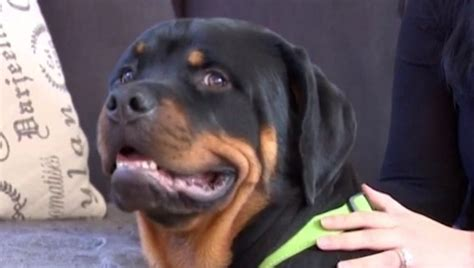 saves owner 110 pound rottweiler puppy named hercules saves his owner from an attacker dogtime