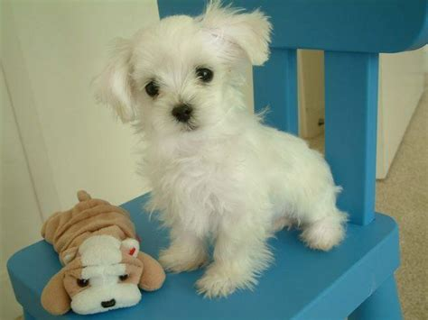 maltese puppy price maltese price in india maltese puppy for sale in bangalore india breeds picture