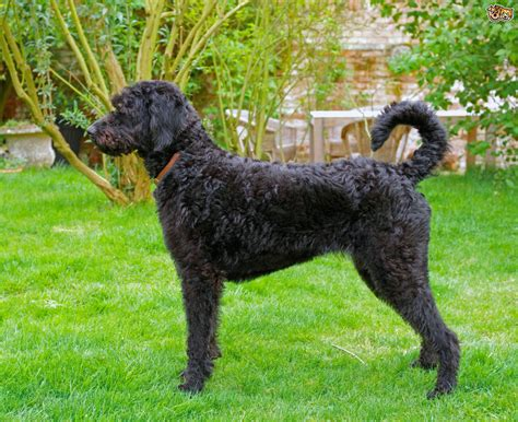 doodle lifespan labradoodle breed information buying advice photos
