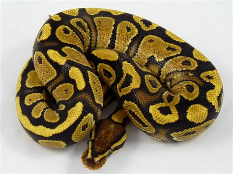 Ball Python Giveaway 2017 - opinions