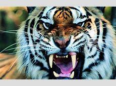 Sfondo Tigre HD | SoloSfondi.com Growling Shouting