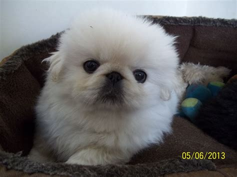 pekingese puppy gorgeous pedigree pekingese puppy ashbourne derbyshire pets4homes