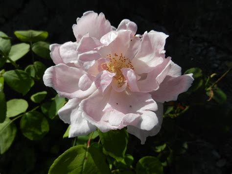 Im Garten 3831 by Rosanas Rosengarten Teerose Teil 1 Adam Rackles