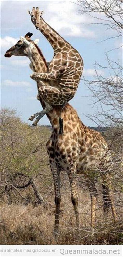 imagenes graciosas jirafas jirafa 161 qu 233 animalada las fotos los v 237 deos y los
