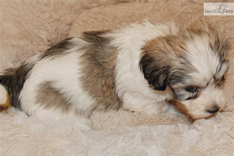havanese puppies for sale houston havanese puppy for sale near houston 94235c96 84d1