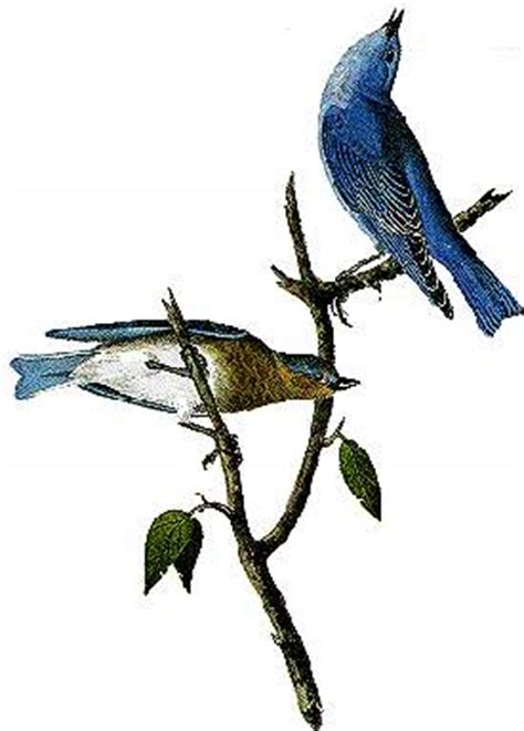 idaho state bird mountain bluebird statescom