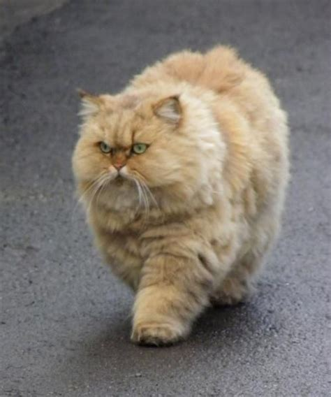 Funny Fat Cat Memes - very fluffy angry cat fat orange cats pinterest