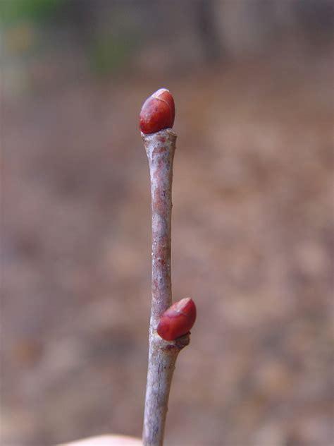 twig l tilia americana american linden go botany