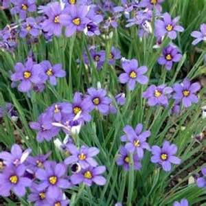 blue eyed grass seeds blue eyed ornamental grass seed