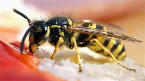 wespen im garten vertreiben wespen vertreiben mit hausmitteln