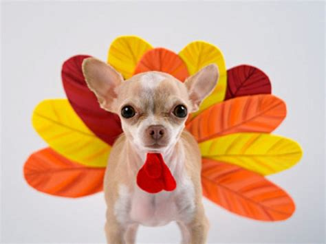 turkey dogs here are 40 animals who are more ready for thanksgiving than you are