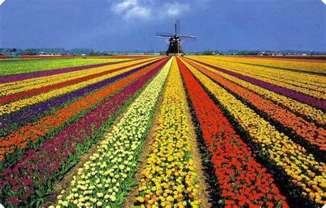 netherlands tulip fields keukenhof holland net