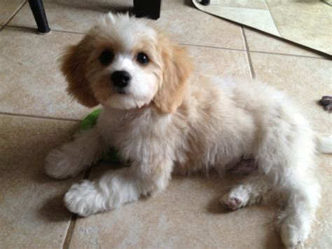 cavachon puppies pin cavachons on