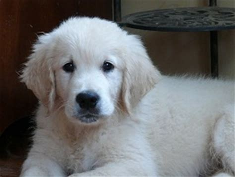 golden retrievers ottawa glenbern golden golden retrievers breeder located in perth ontario
