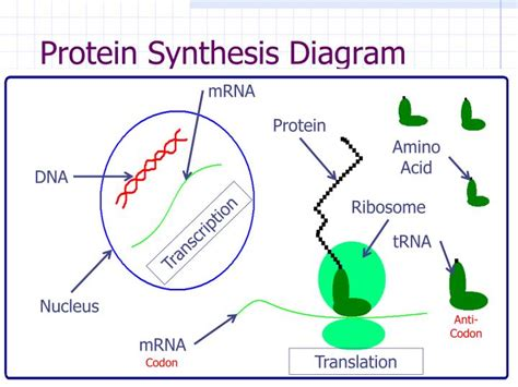 protein synthesis diagram chapter 13 rna and protein synthesis answers seotoolnet