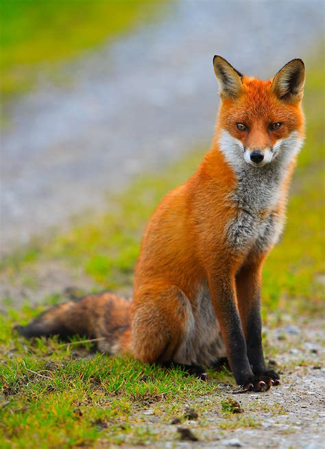 Home Decor Gifts For Mom quot red fox ireland quot by eunan sweeney redbubble