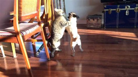 pug cat pug vs cat fight who will win