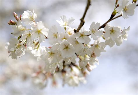 cherry blossom facts 5 things you didn t about the cherry blossoms pbs
