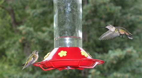 keeping bugs away from hummingbird feeders backyard chirper