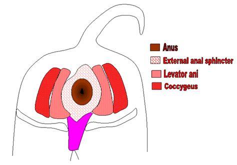 perineal hernia perineal hernia animal surgical center of michigan