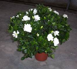 Gardenia Vine Plants Flowers 187 Cape
