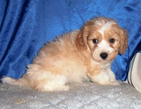 puppies in kansas breeder small akc puppies for sale in kansas s precious puppies