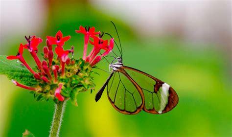 imagenes mariposas de cristal mariposas de cristal