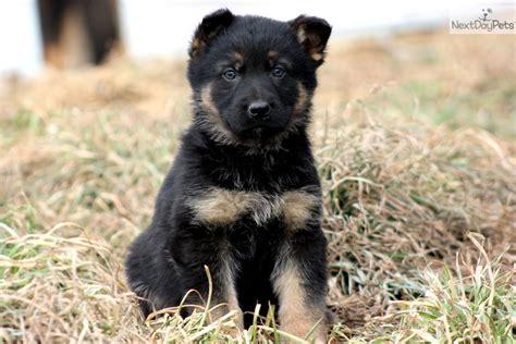 german pinscher puppies for sale german pinscher puppy for sale near lancaster pennsylvania 191883df 2121