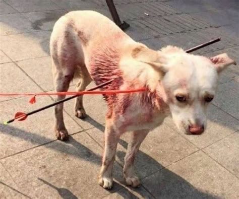 dogs in china china struck with arrows by recovers at shelter oipa