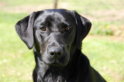 black lab puppies info labrador retriever the small water breed answers