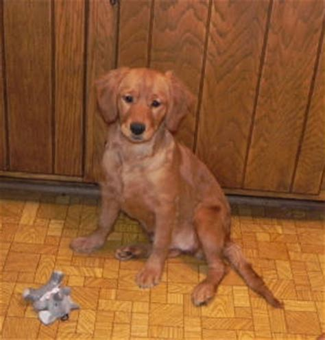 miniature golden retriever oregon mini golden retriever breeders in mn dogs in our photo