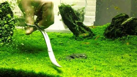 membuat karpet aquascape 5 tanaman karpet terbaik untuk aquascape