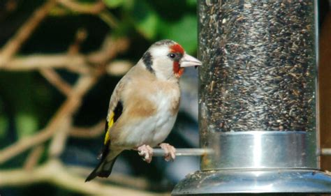 goldfinch birdforum gallery