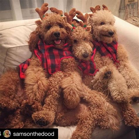 labradoodle christmas jumper 4010 best images about poodles poodles poodles on poodles poodles and poodle