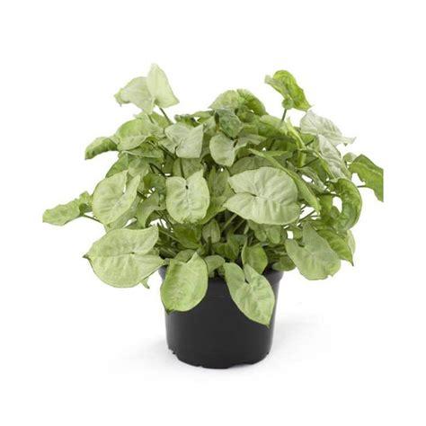 buy syngonium white plant   lowest price