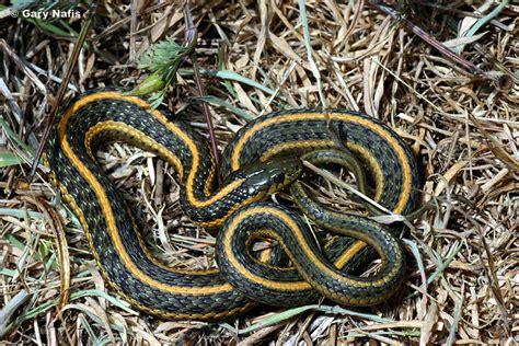 Garden Snake Oregon Oregon Gartersnake Thamnophis Atratus Hydrophilus