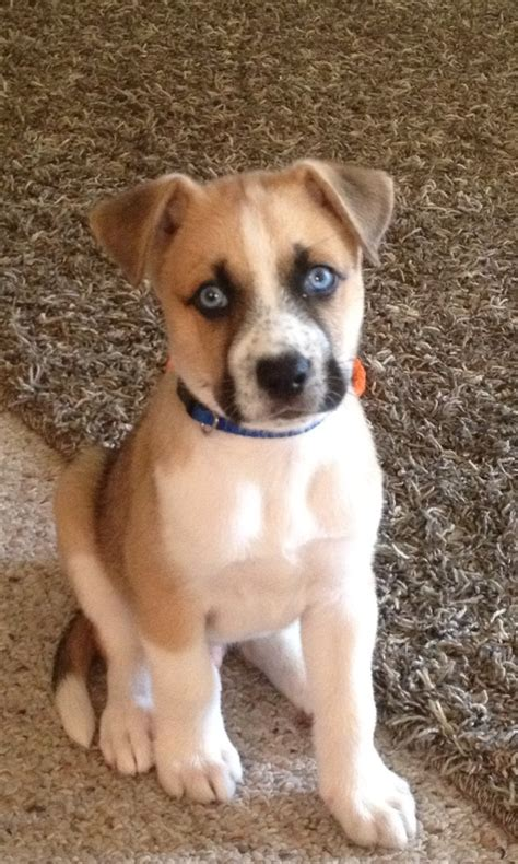 boxer husky puppies boxer husky mix puppies breeds picture