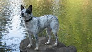 Australian cattle dogs also known as blue heelers and red heelers