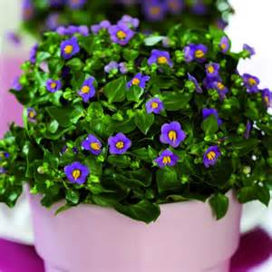 Flowers To Grow Inside - persian violet indoors exacum affine my garden insider