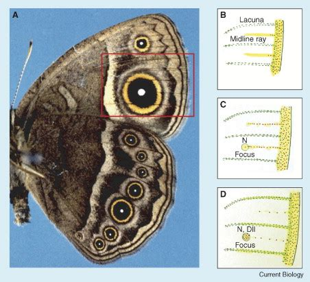 pattern formation and eyespot determination in butterfly wings pattern formation a focus on notch in butterfly eyespots
